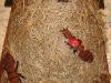 mravenec-lesni